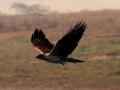 26-4_hieraaetus_fasciatus_bonellis_eagle_chambal_river_india_9_dec_2010_ps