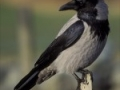 Siva vrana - Corvus corone cornix 2
