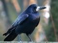 Vrana gačac Corvus frugilegus L