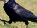 Vrana gačac - CorvusFrugilegus 1