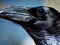 Vrane imaju dugotrajno pamćenje