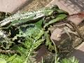 Žaba jede žabu