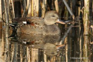 patka kreketalja ženka (Anas strepera)