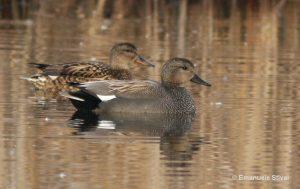 patka kreketaljka mužjak i ženka