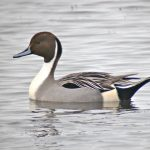 Mužjak patke lastarke na vodi