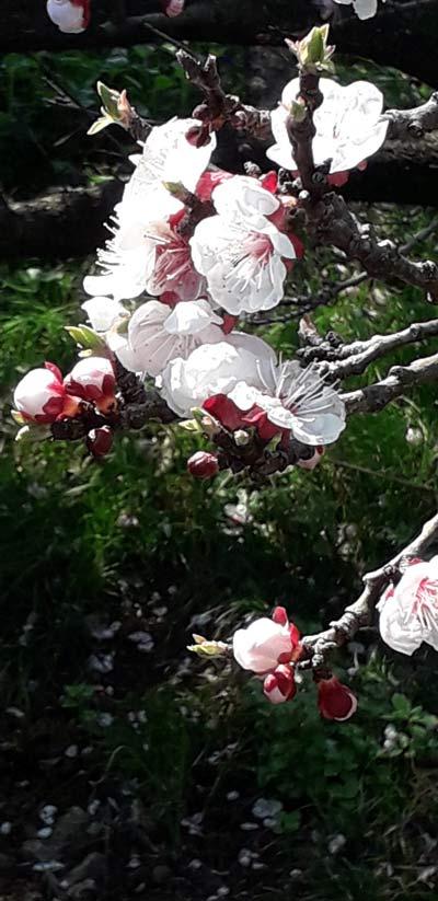pupoljci u proljeće