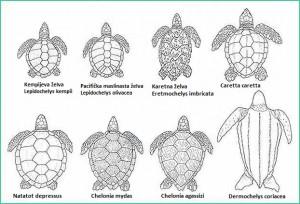 vrsta morskih kornjaa